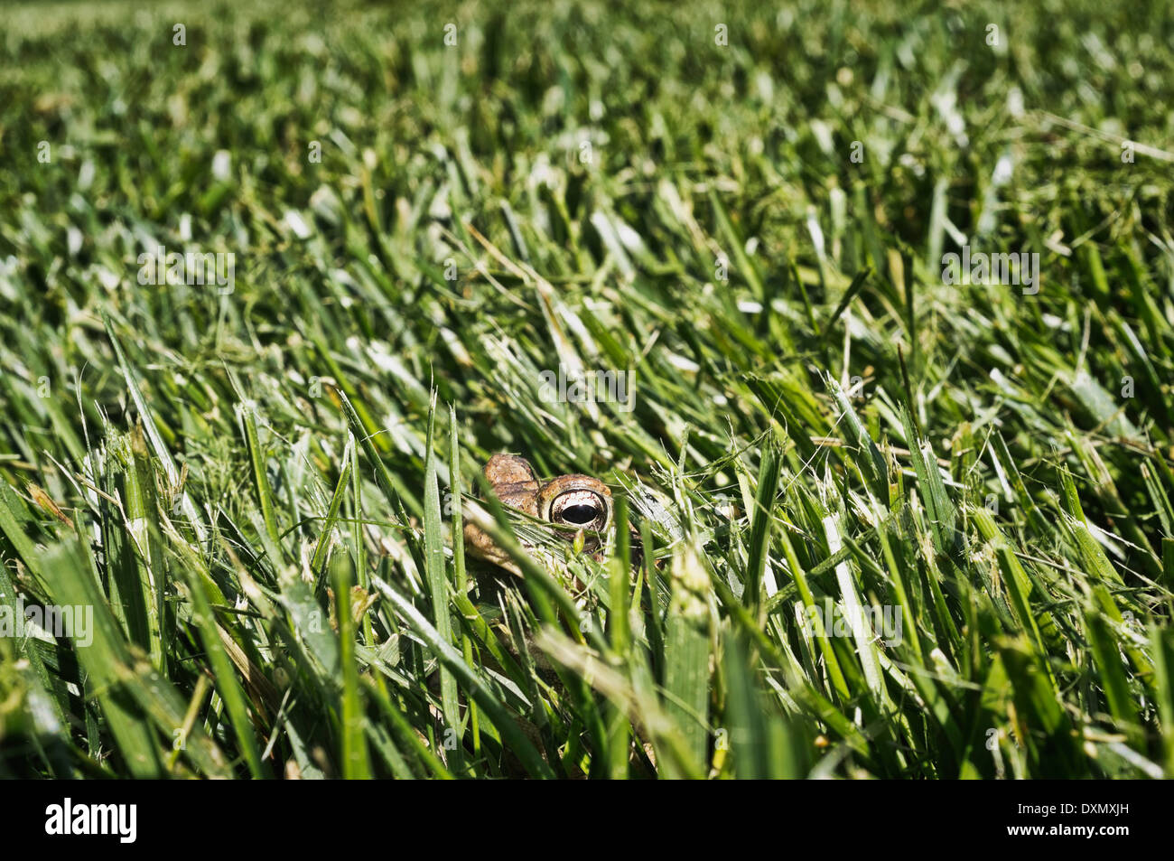 Toad peaking up from fresh cut grass after surviving lawn mowing - Stock Image