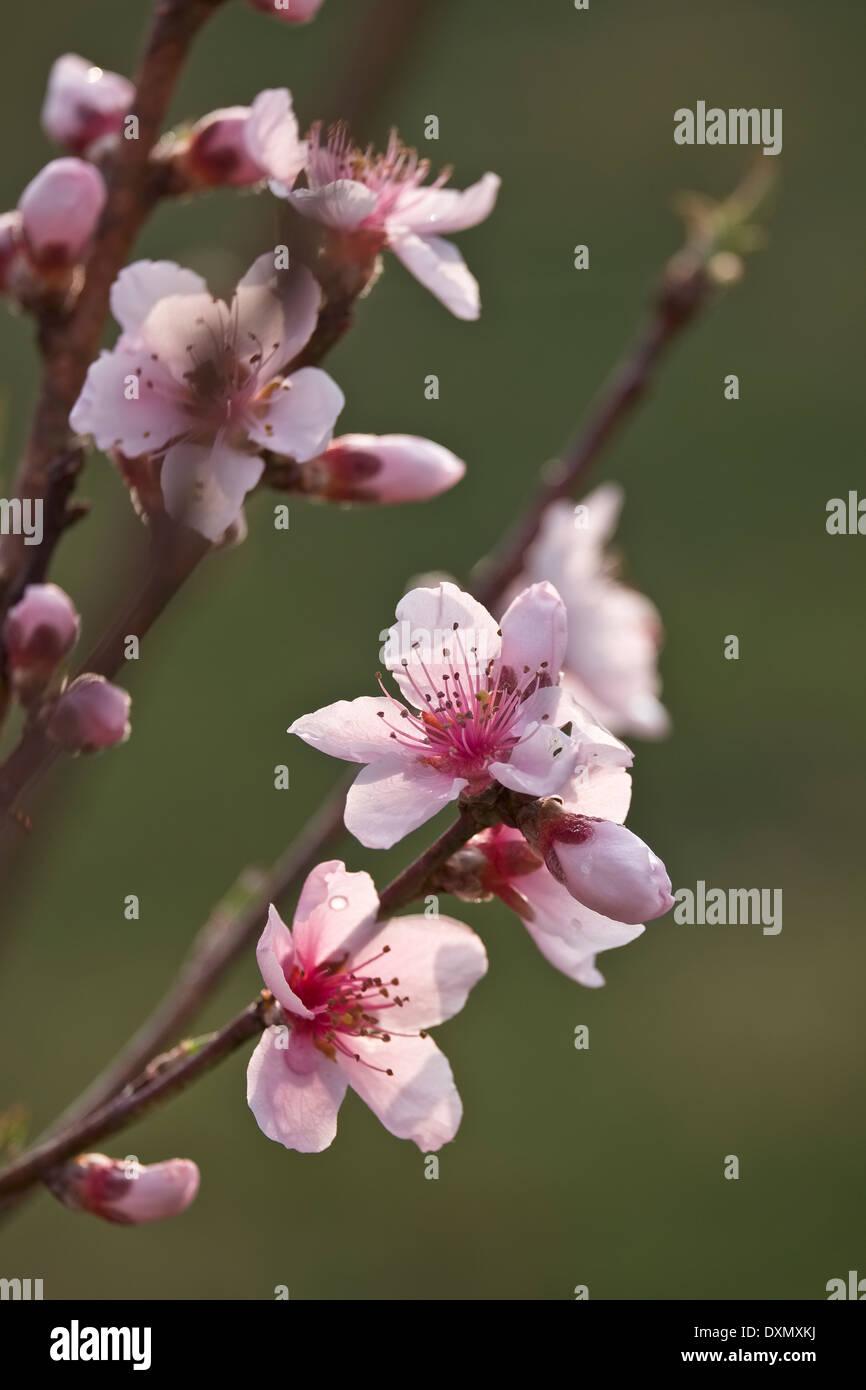 Super Sweet Peach. White Princess. Prunus persica flower blossoms - Stock Image