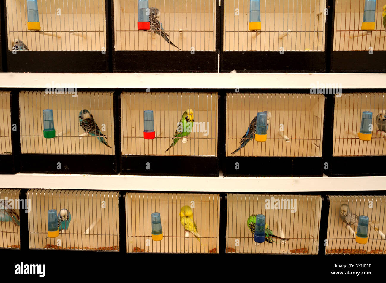 Budgies in cages at the Bahrain Animal Production Show, 2014, Bahrain International Endurance Village - Stock Image