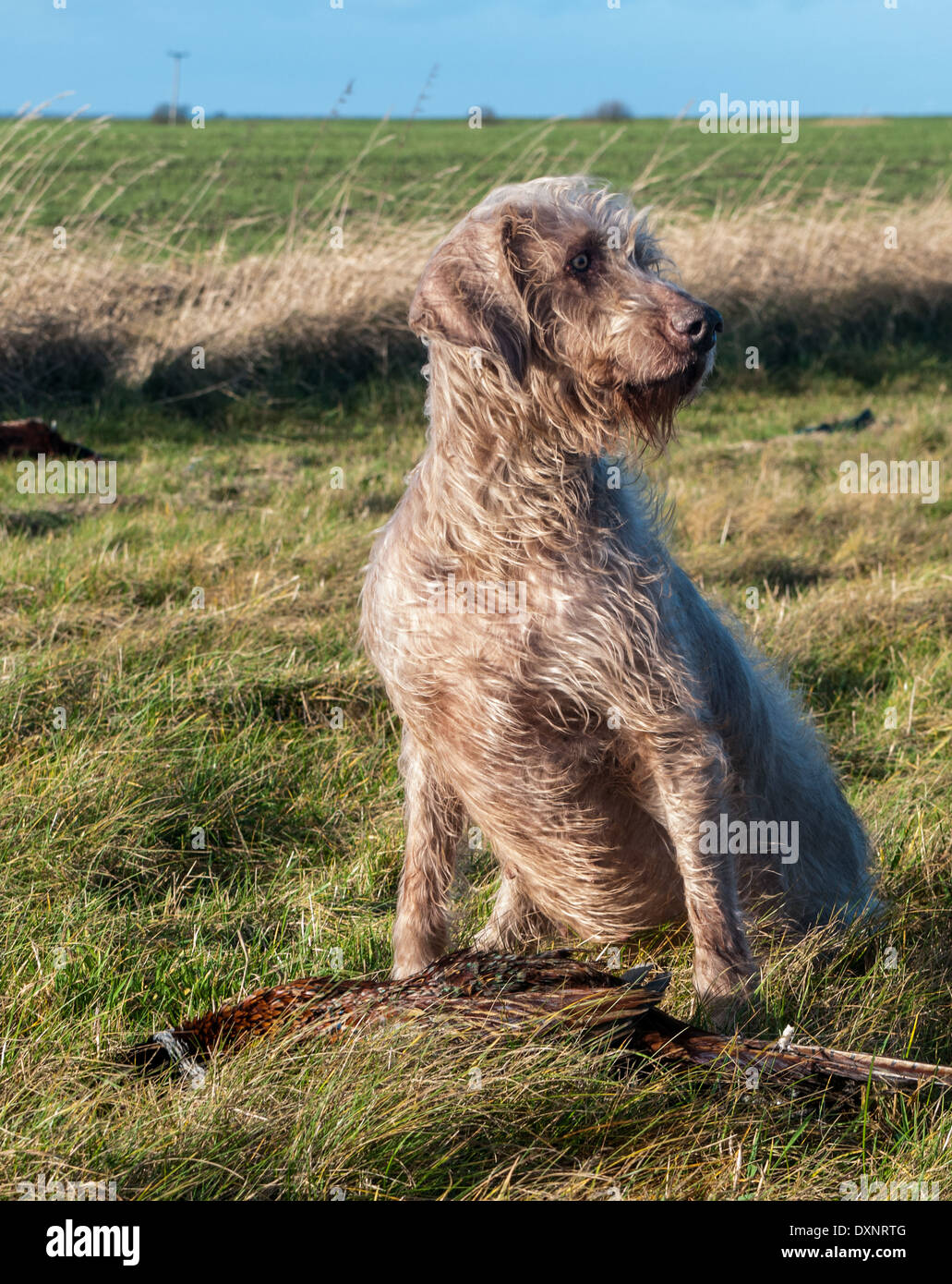 A Slovak Wirehaired Pointer, or Slovakian Rough-haired Pointer dog, with a pheasant - Stock Image