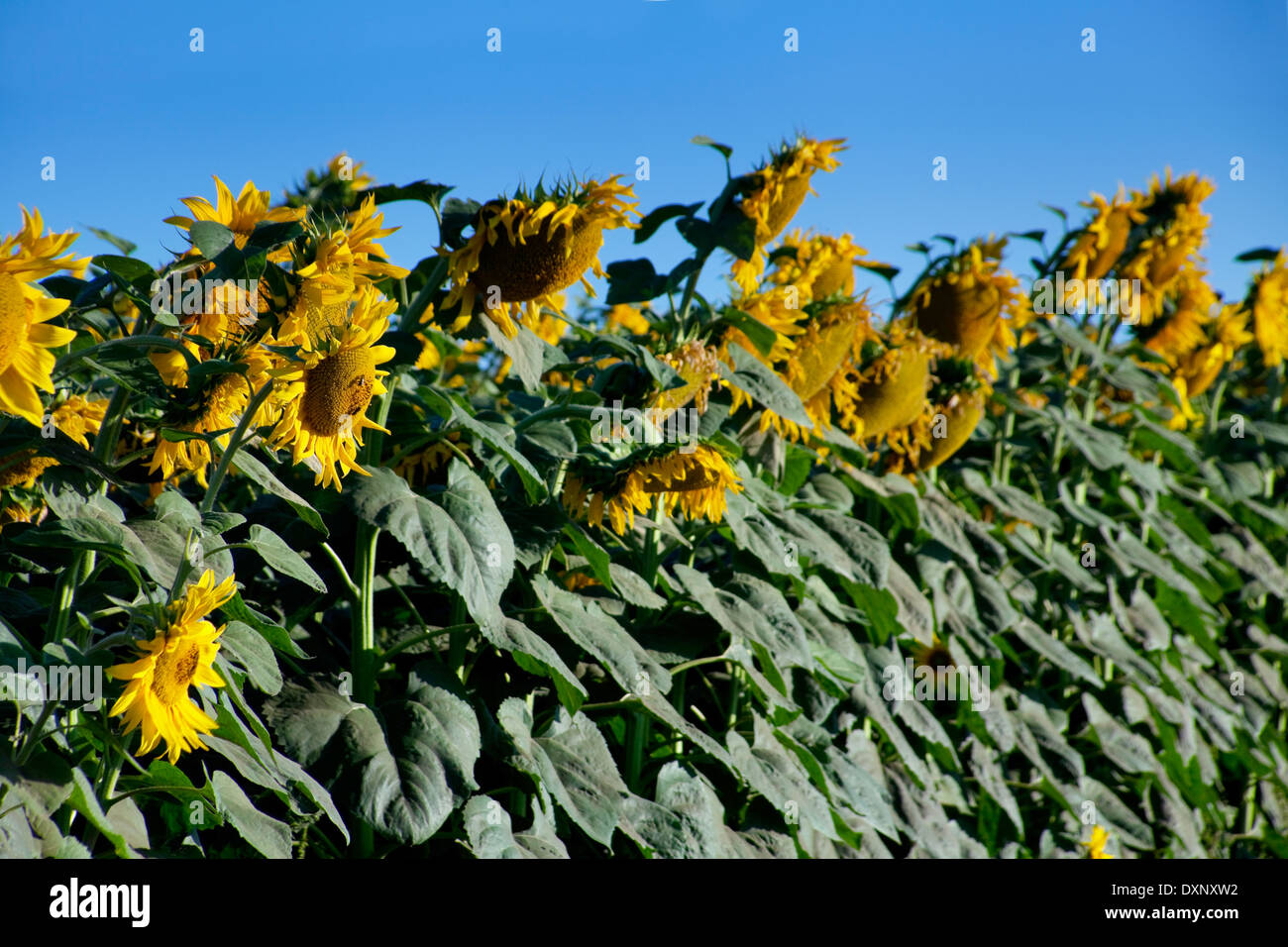 Ripe sunflower field detail with sky - Stock Image