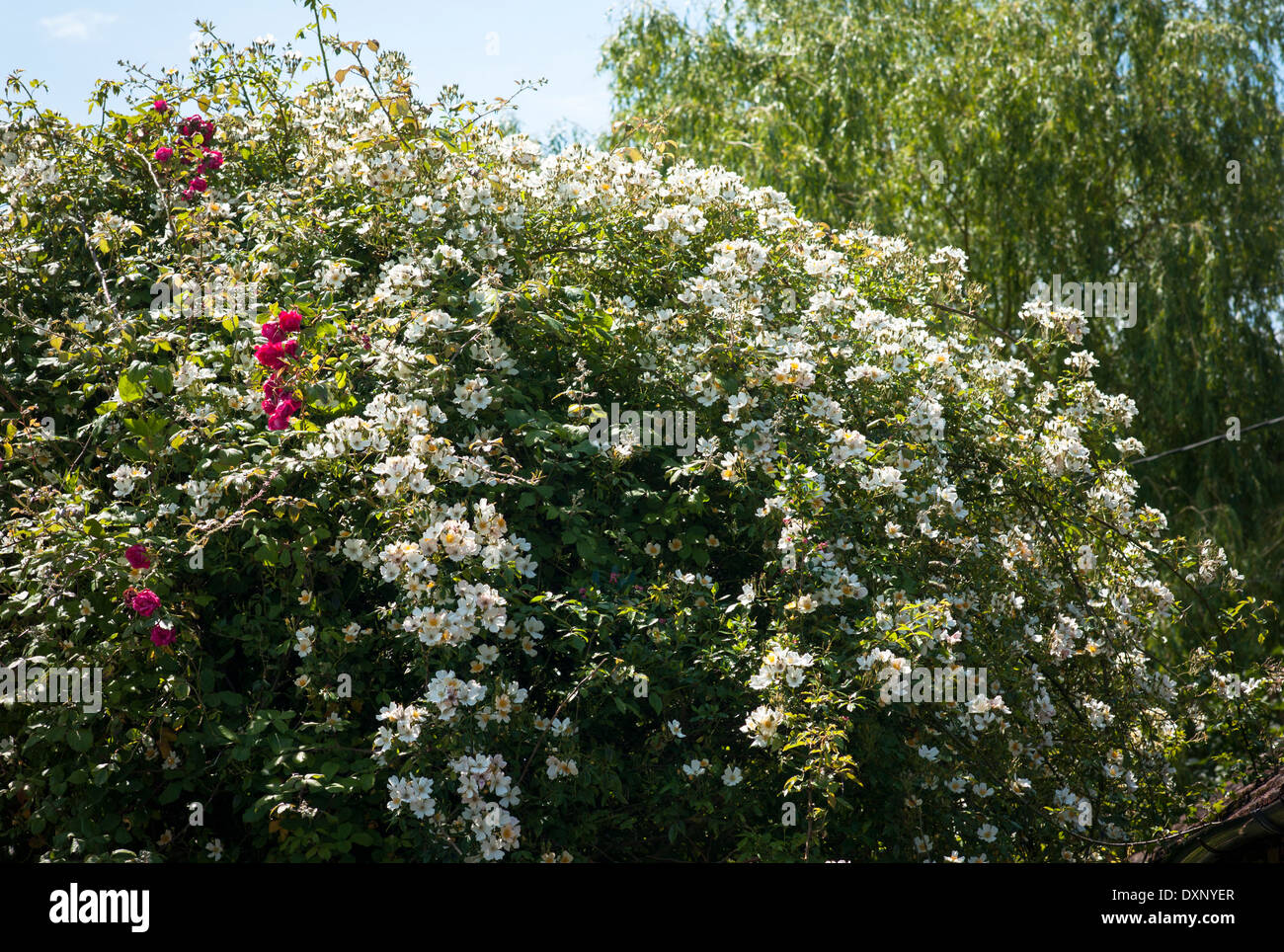 Rambling rose Wedding Day in an English garden in June - Stock Image