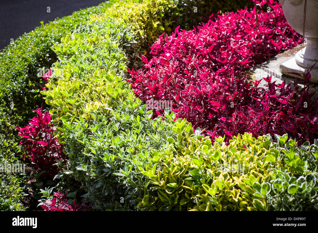Concentric planting of evergreen shrubs and Iresine bedding plants - Stock Image