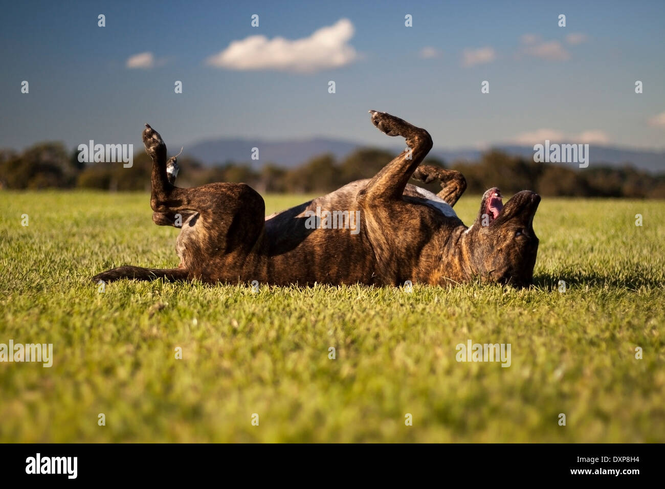 Dog rolling around on the grass. - Stock Image