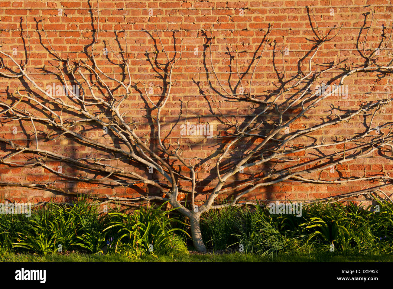 fan trained fig Brown Turkey against brick wall West Dean Sussex kitchen garden branch structure bear Spring sun sunny south - Stock Image