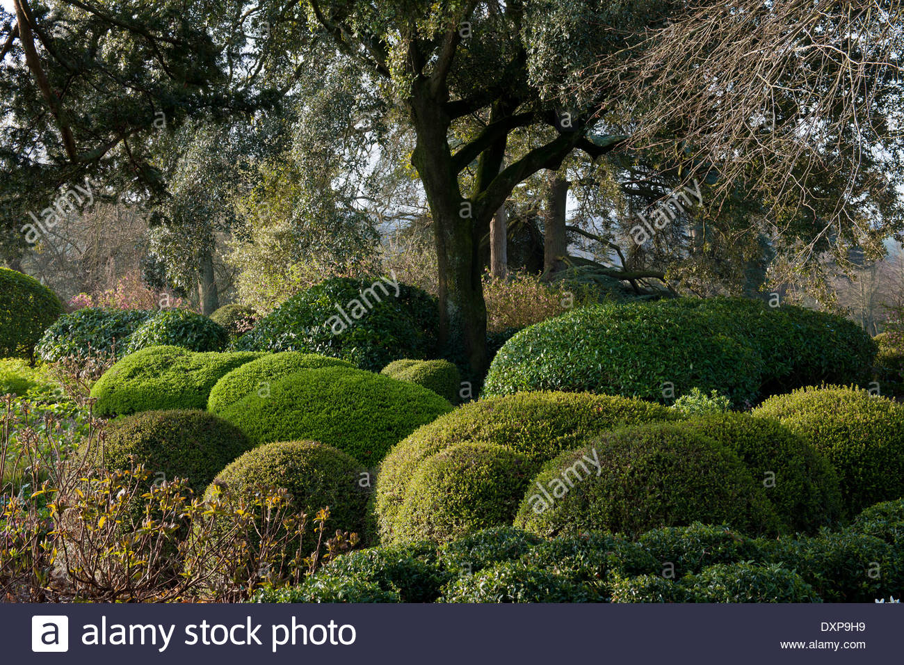 mixed topiary evergreen shrubs at West Dean college Sussex - Stock Image