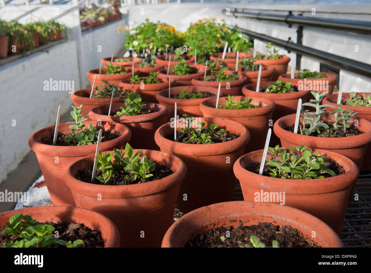 mint varieties in terracotta pots containers Spring glasshouse greenhouse shelf sun sunny West Dean Sussex - Stock Image