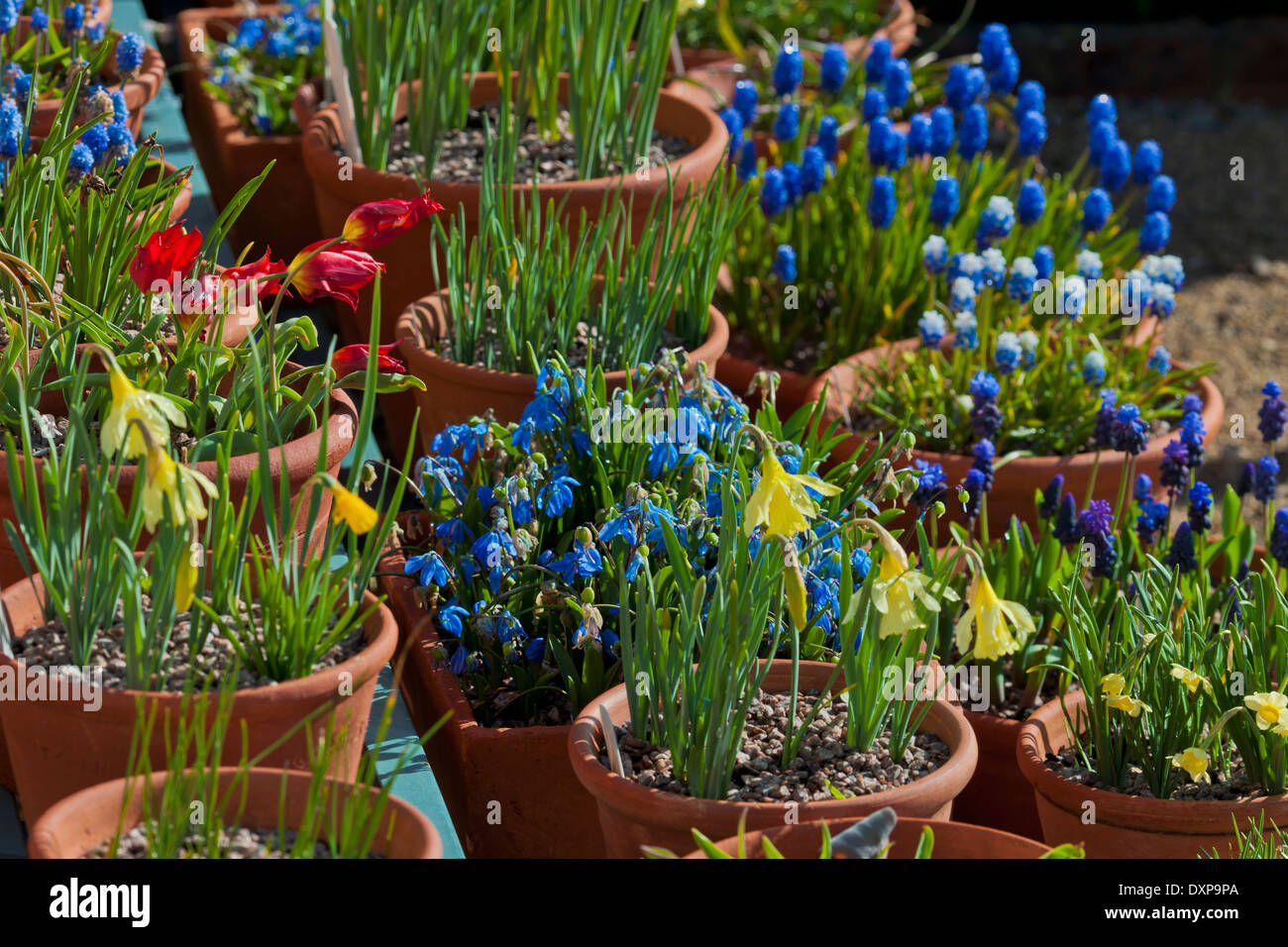 Spring containers bulbs Scilla Muscari Daffodils Tulips terracotta pots shelving staging sun sunny West Dean Sussex - Stock Image