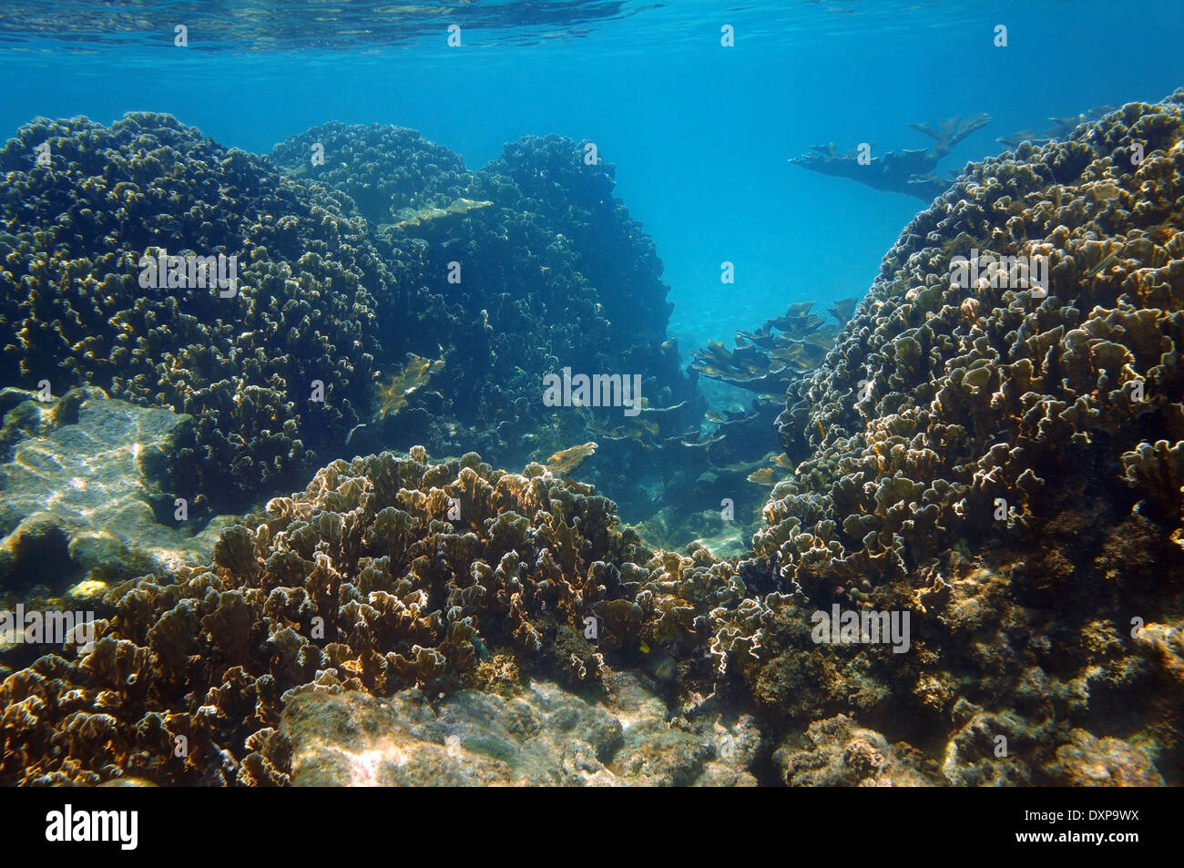 Underwater view of an healthy coral reef in the Caribbean sea with blade fire coral colonies, Yucatan, Mexico - Stock Image
