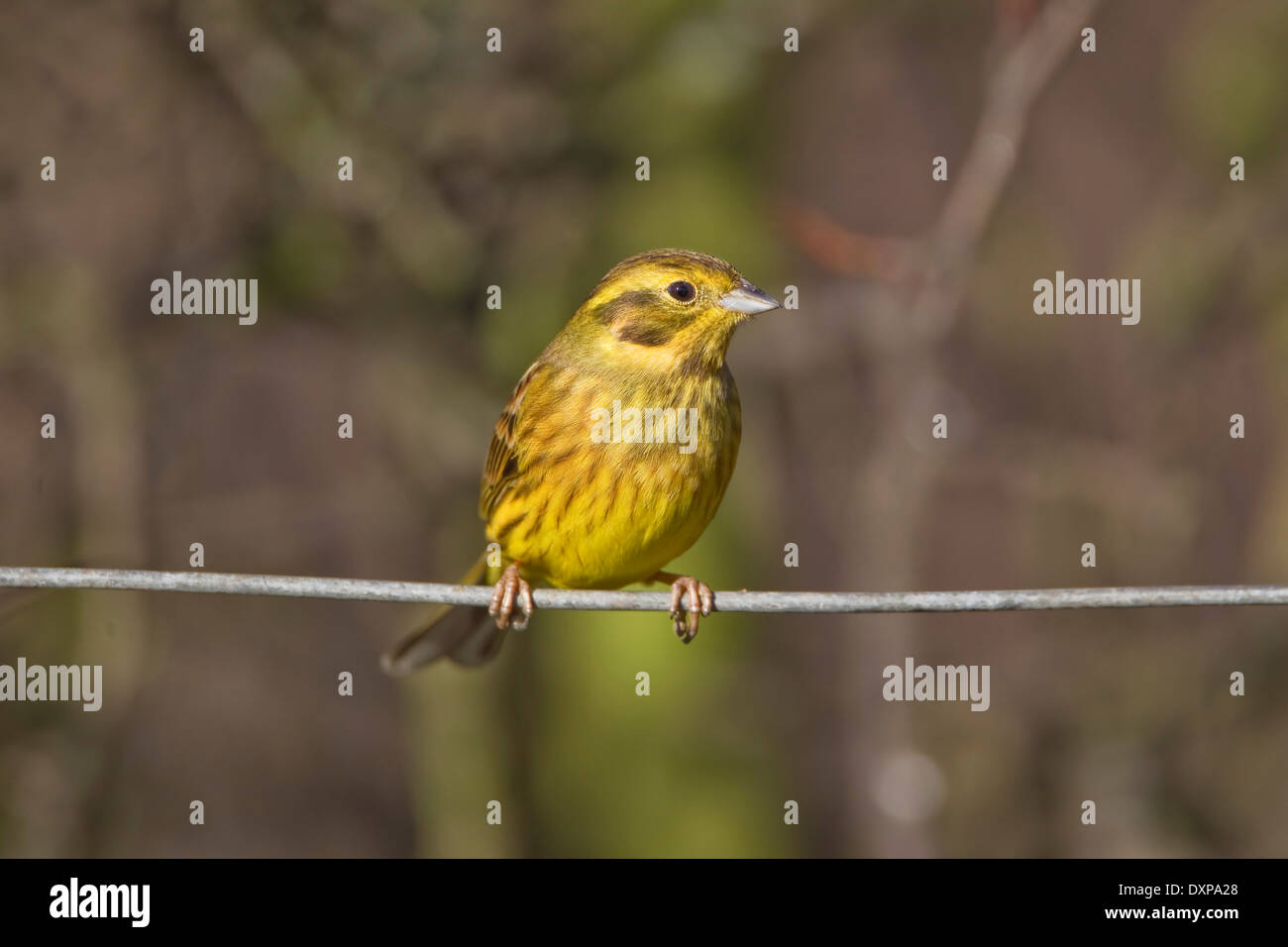 Yellowhammer male Emberiza Citrinella close up perched on a fence wire - Stock Image