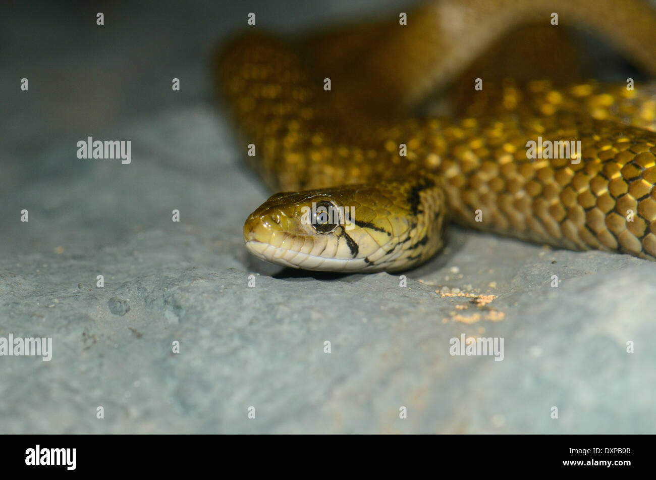 beautiful Chequered Keelback (Xenochrophis piscator) in terrarium - Stock Image