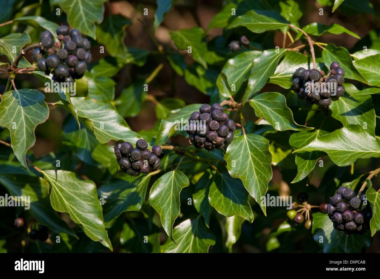 Common Ivy English Evy Fruit Efeu Frucht Früchte Beeren