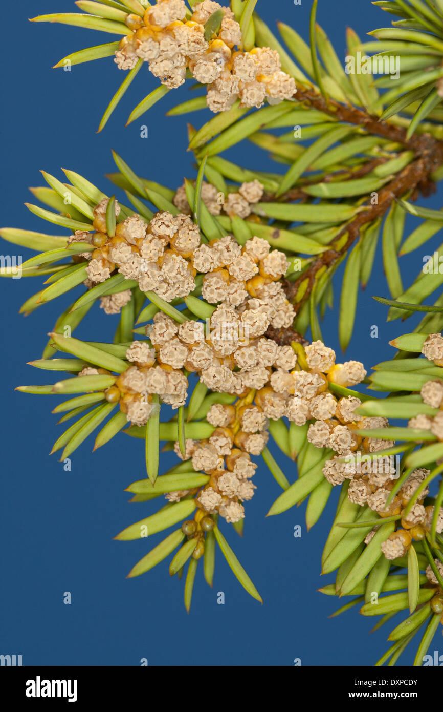 Common Yew, English Yew, Europäische Eibe, Gewöhnliche Eibe, Beeren-Eibe, Beereneibe, Taxus baccata, If commun - Stock Image