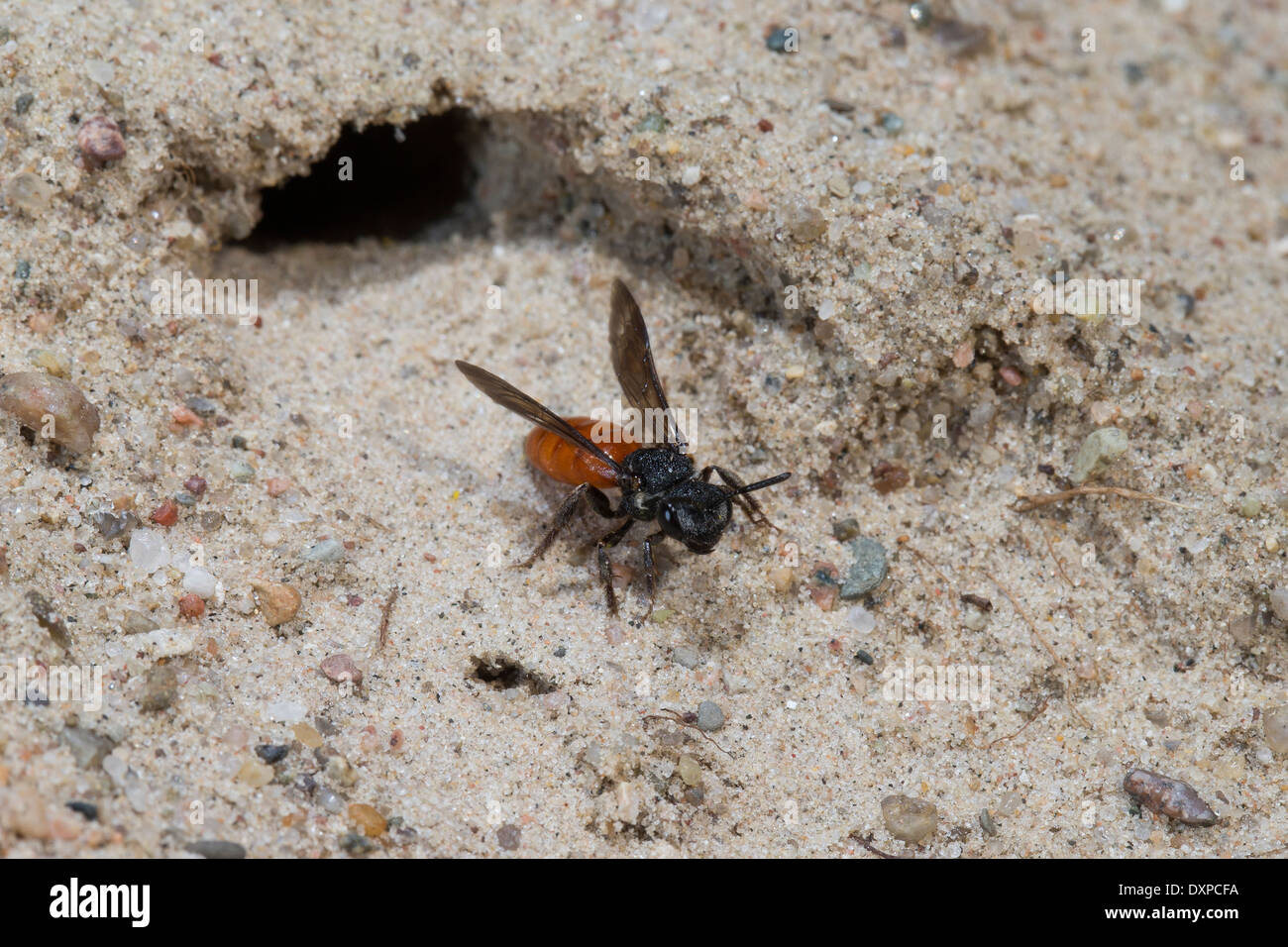 Sweat bee, Halictid Bee, Große Blutbiene, Auen-Buckelbiene, Kuckucksbiene, Sphecodes albilabris, Sphecodes fuscipennis - Stock Image