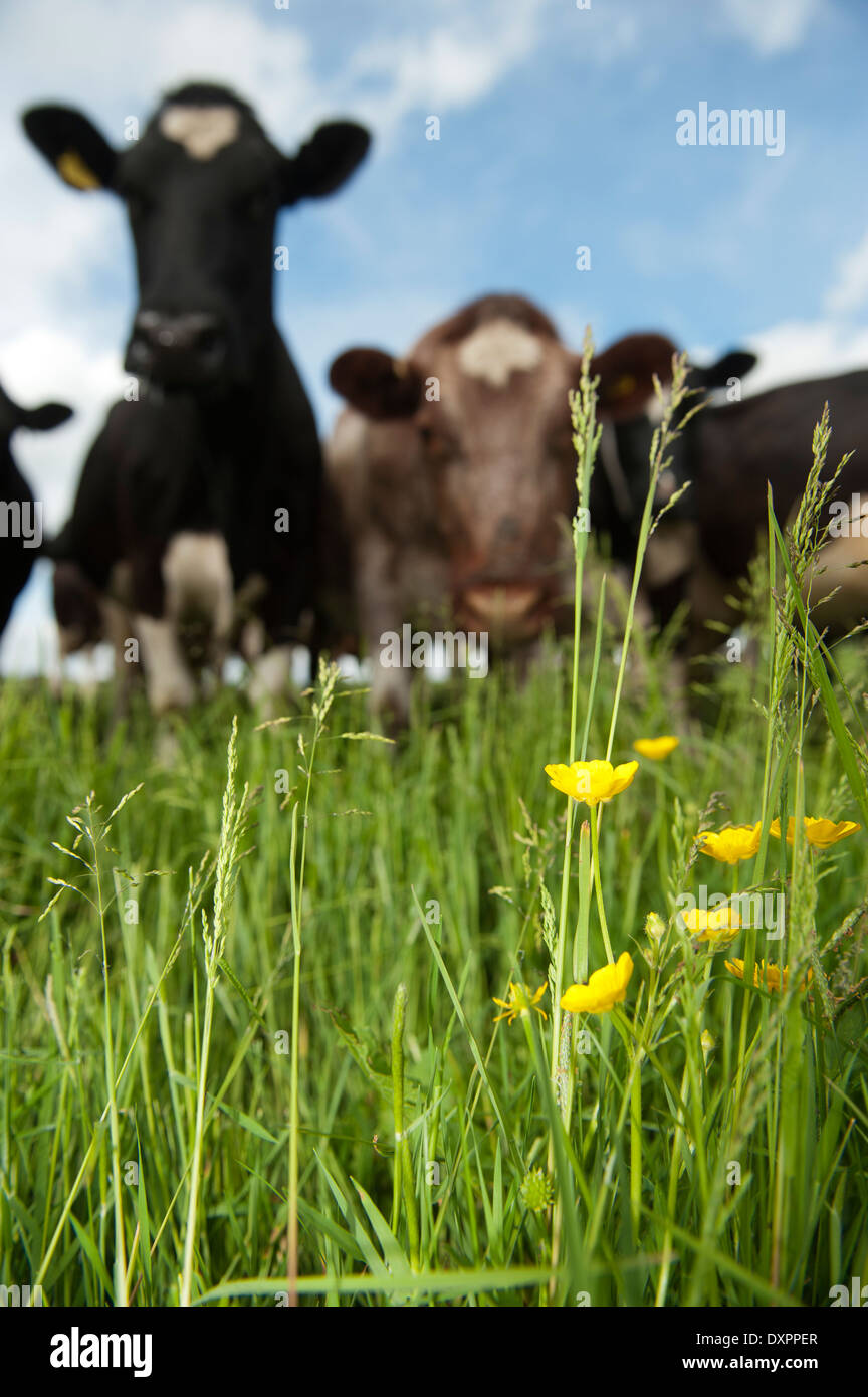 Dairy cattle grazing in field with buttercups in. Cumbria, UK. - Stock Image
