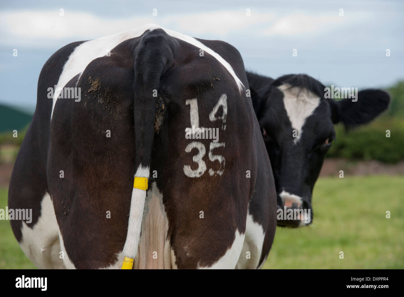 Cow with identification number freeze branded on its rear. Cumbria, UK - Stock Image
