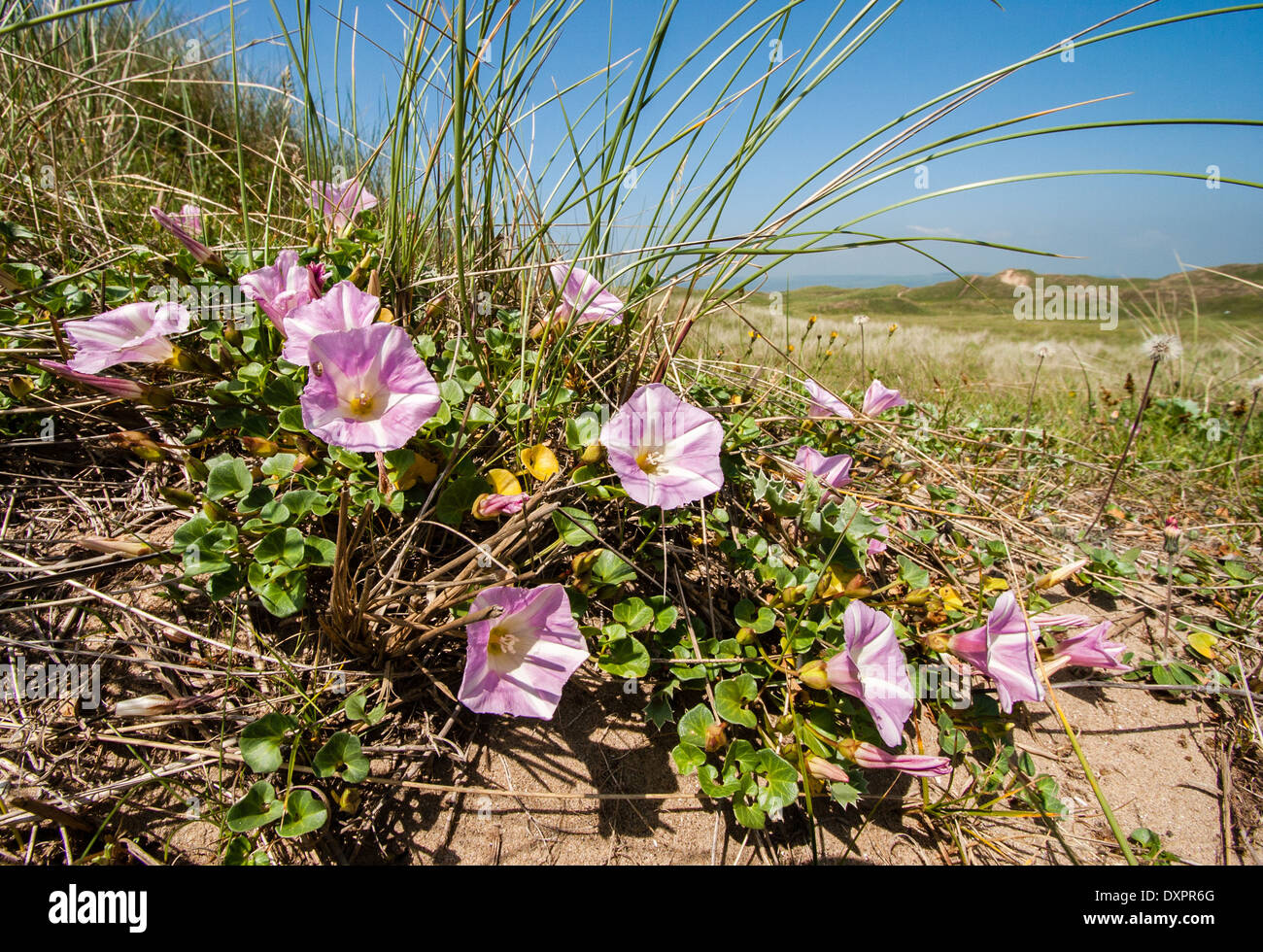 Sea Bindweed Convolvulus soldanella growing in dry sand dunes at Kenfig Burrows on the South Wales coast UK - Stock Image