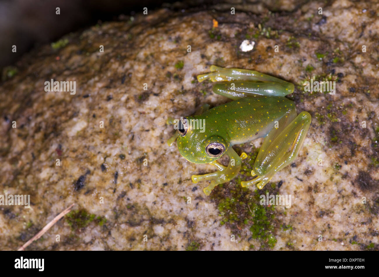 A Yellow-flecked Glass Frog (Sachatamia albomaculata) on a mossy rock in El Valle de Antón, Coclé, Panama. - Stock Image