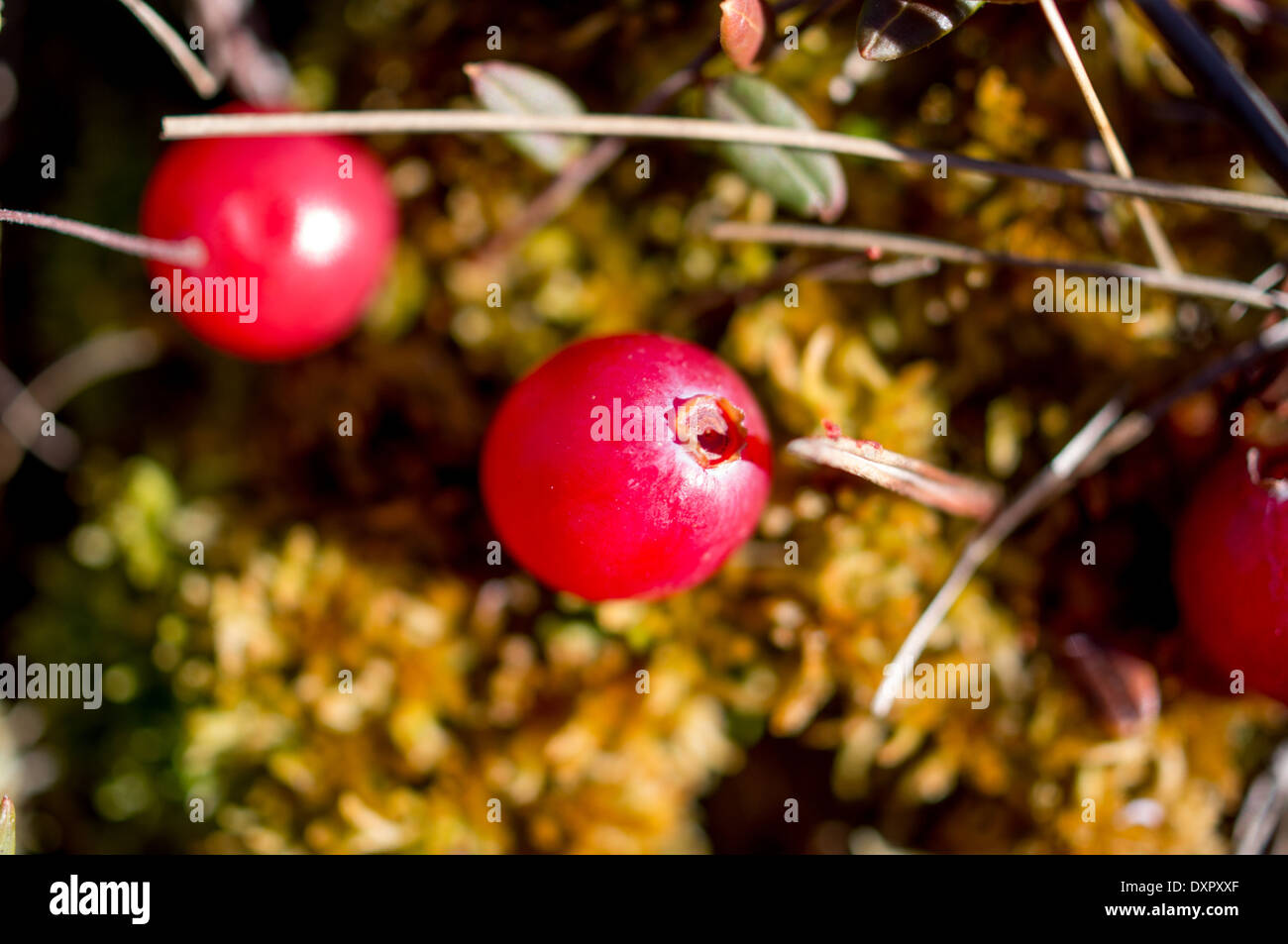 Cranberry growing in a swamp - Stock Image