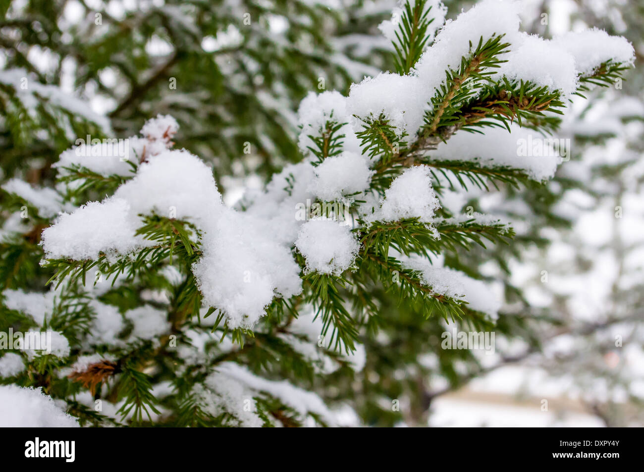 Conifer, spruce, pine, fir, Christmas tree branches covered with snow - Stock Image