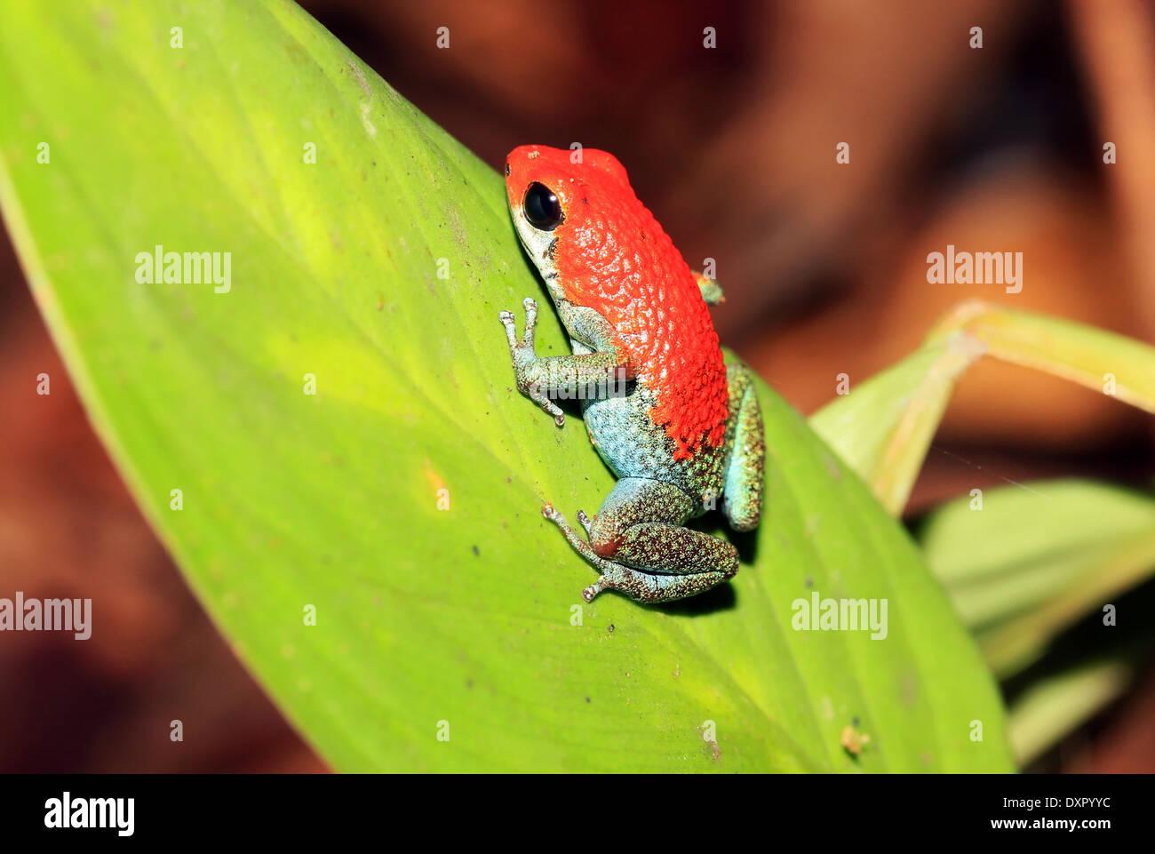Strawberry Poison-dart Frog (aka Blue Jeans Poison-dart Frog - Dendrobates Pumilio), On a Leaf, Drake Bay, Osa Peninsula, - Stock Image