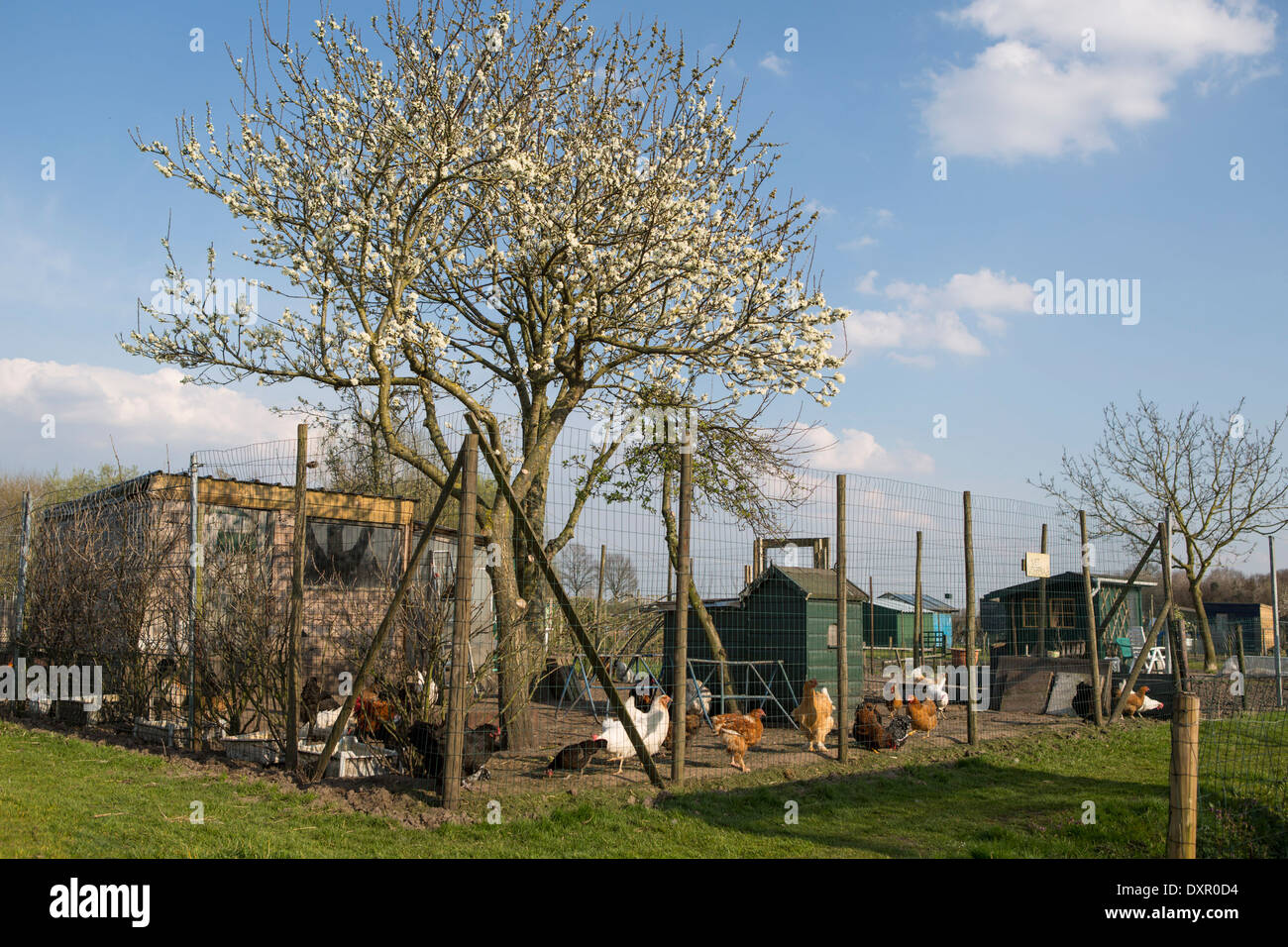 Chicken coop in an allotment garden with a blooming fruit  tree Stock Photo