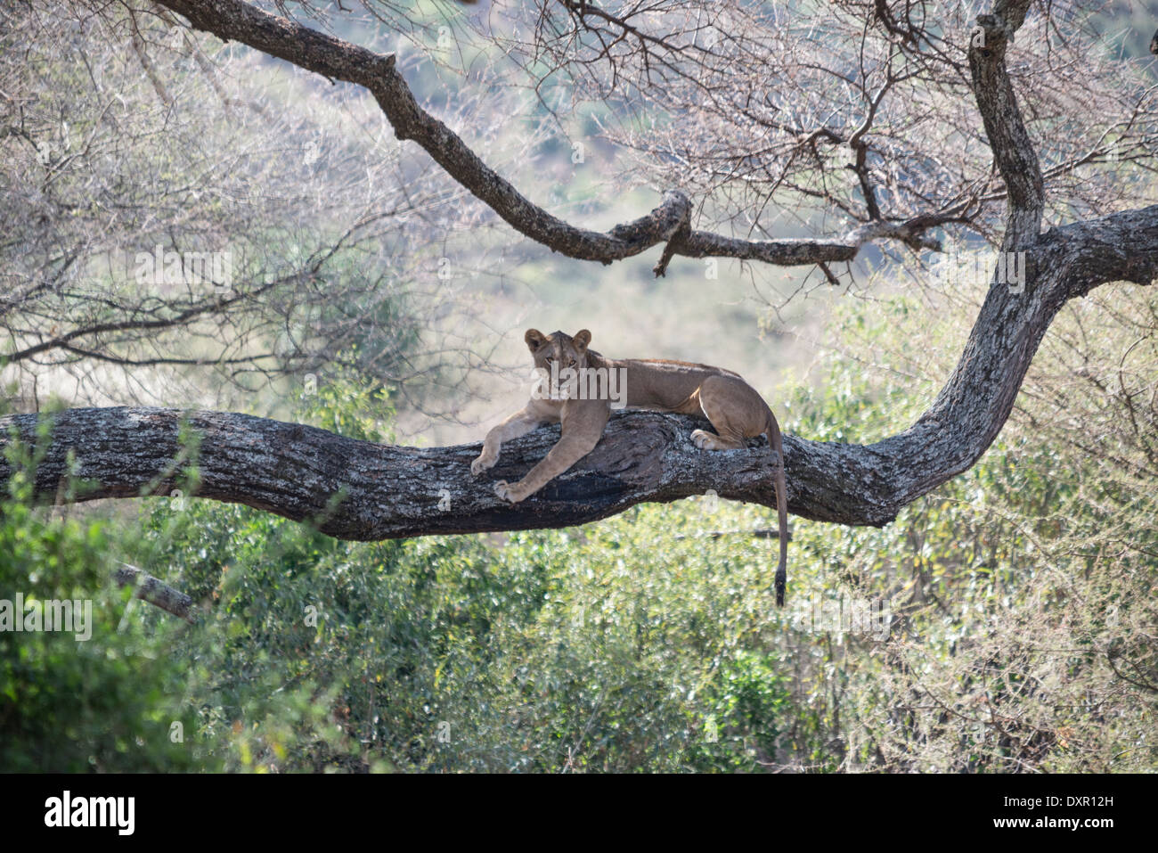 A lioness rests on a large branch of a tree in Lake Manyara National Park, Tanzania - Stock Image