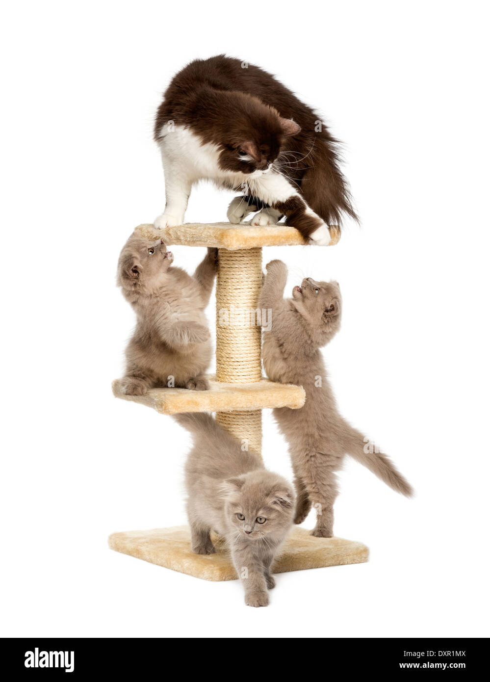 Mother cat playing with her kittens on a cat tree against white background - Stock Image