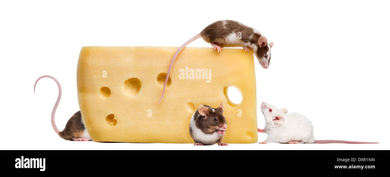 Mice on top of a big piece of cheese, Mus musculus, in front of white background - Stock Image