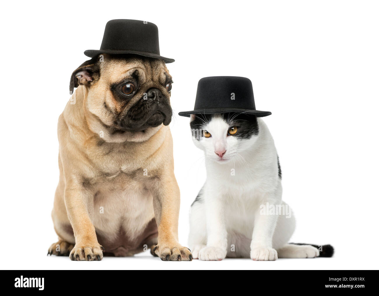 Pug puppy and cat wearing a top hat against white background - Stock Image