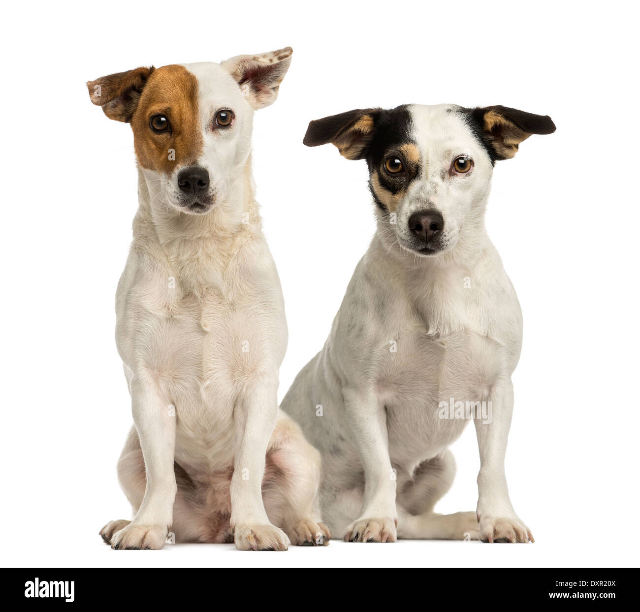 Two Jack russell terriers sitting and looking at the camera against white background - Stock Image