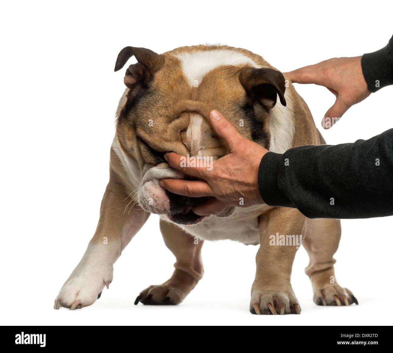 Disobedient English Bulldog against white background - Stock Image