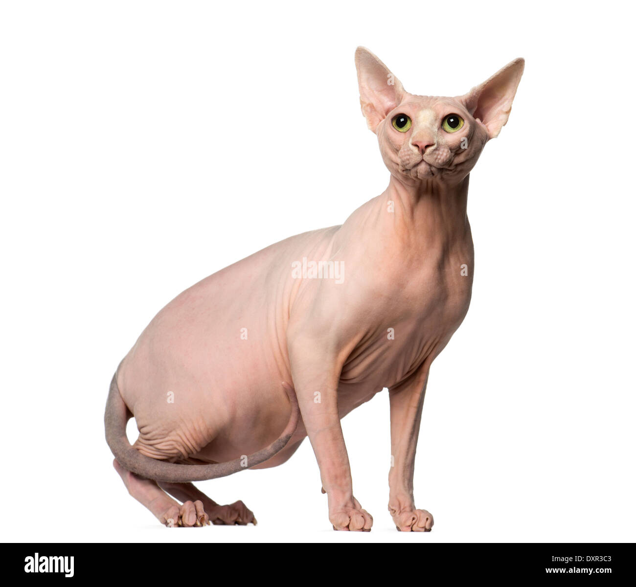 Sphynx looking up against white background - Stock Image