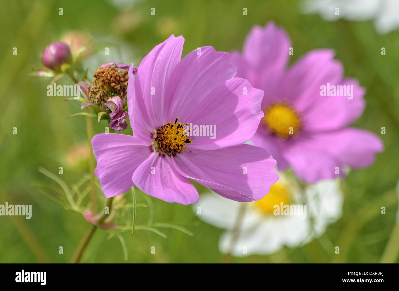 Pink Cosmo Flower Stock Photo 68120042 Alamy