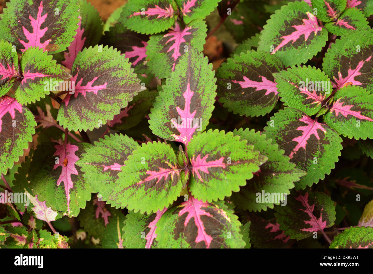 Colorful Pink Green Leaves Coleus Plant Stock Photo Alamy