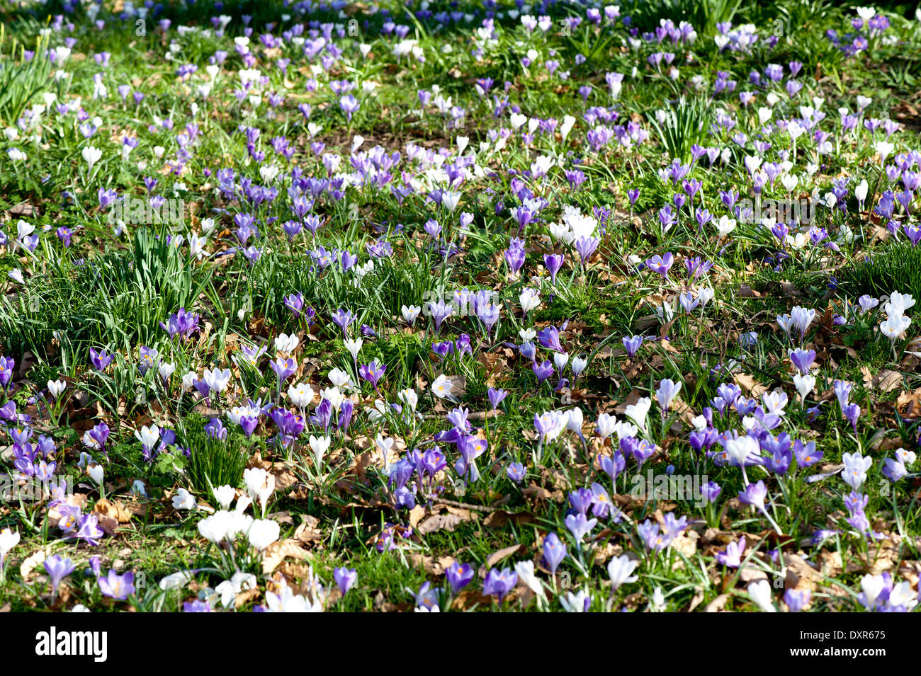 Purple And White Crocus Flowers Lawn Stock Photo 68121961 Alamy