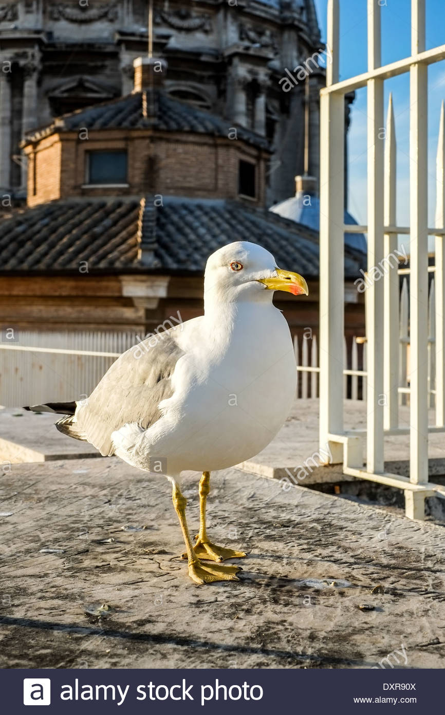Seagull at the roof of the St. Peter's Basilica in Rome, Vatican, Italy - Stock Image