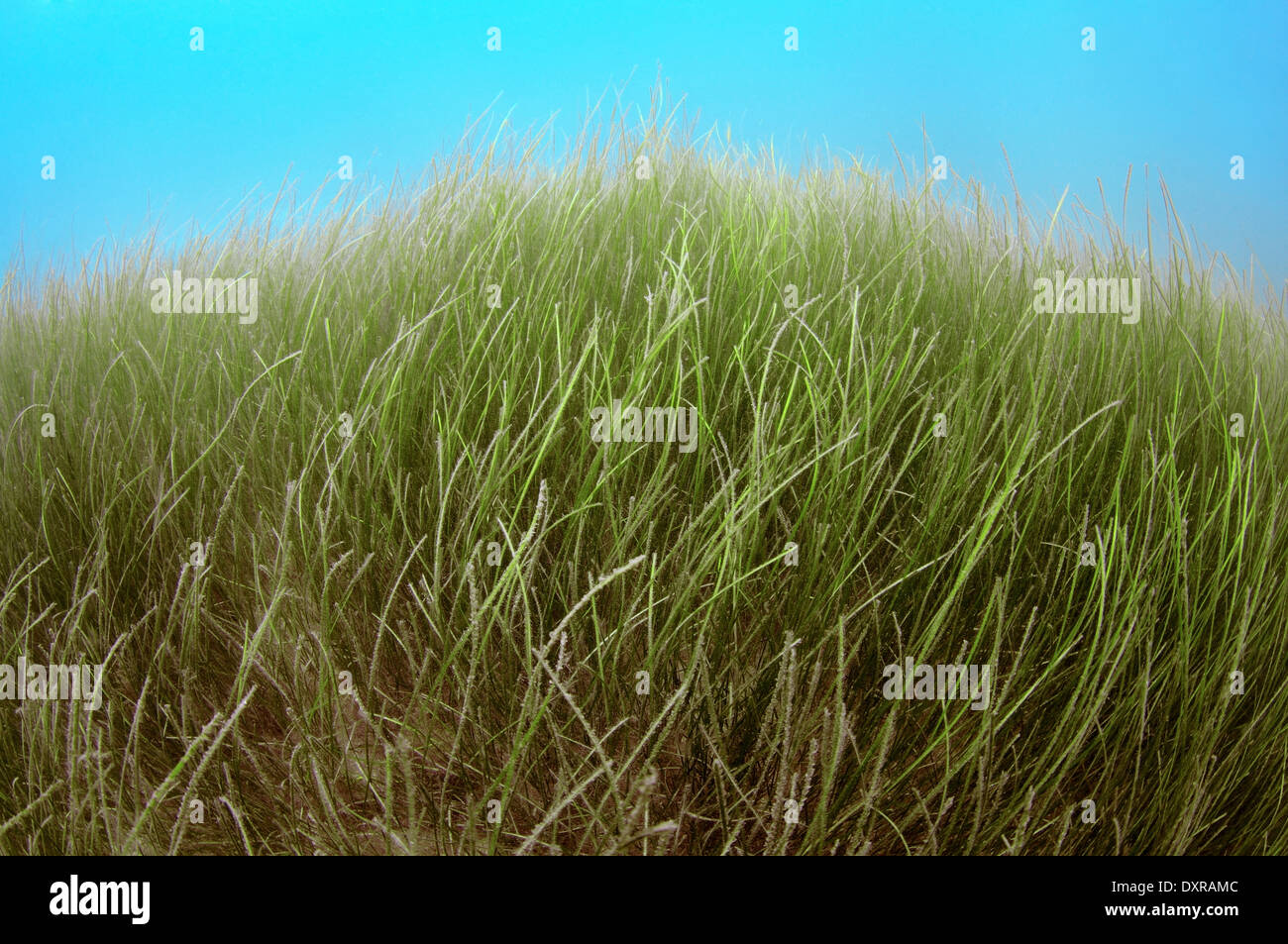 Dense thickets of  Seagrass Zostera on the sandbanks on the blue water background - Stock Image