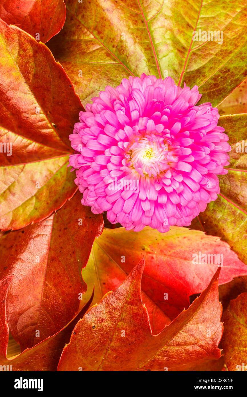 Autumn Aster Stock Photos & Autumn Aster Stock Images - Alamy