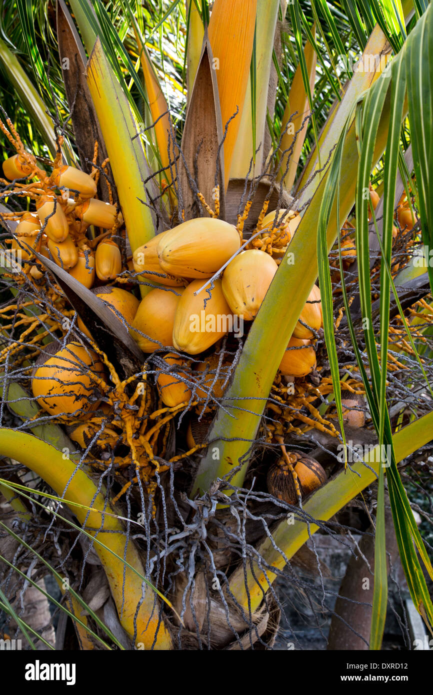 photography of coconut palm - Stock Image