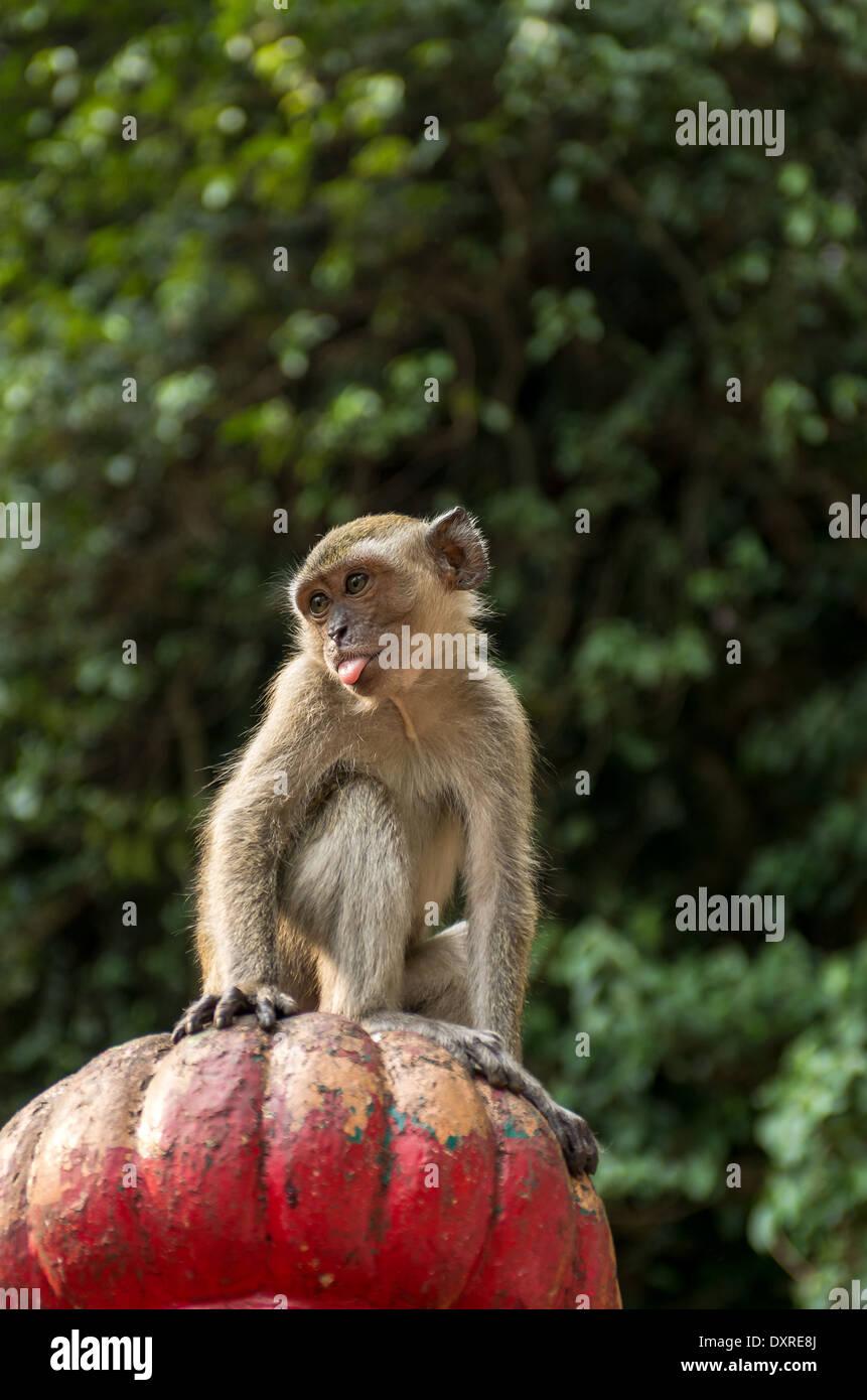 Monkey sitting on pillar pulling tongues - Stock Image