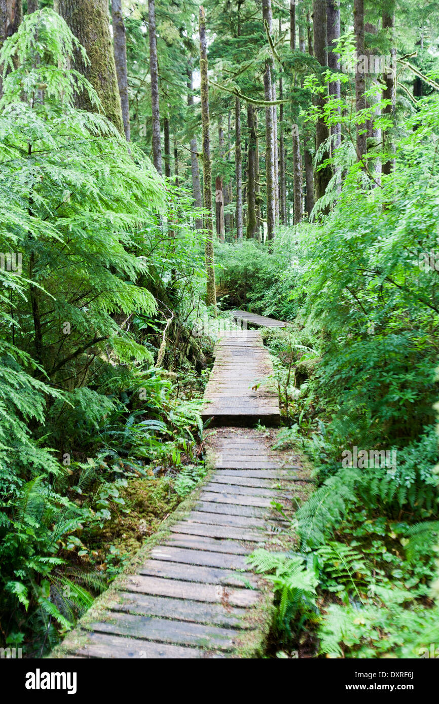 Large cedar trees in caramanah  Valley and an old wooden walkwaly - Stock Image