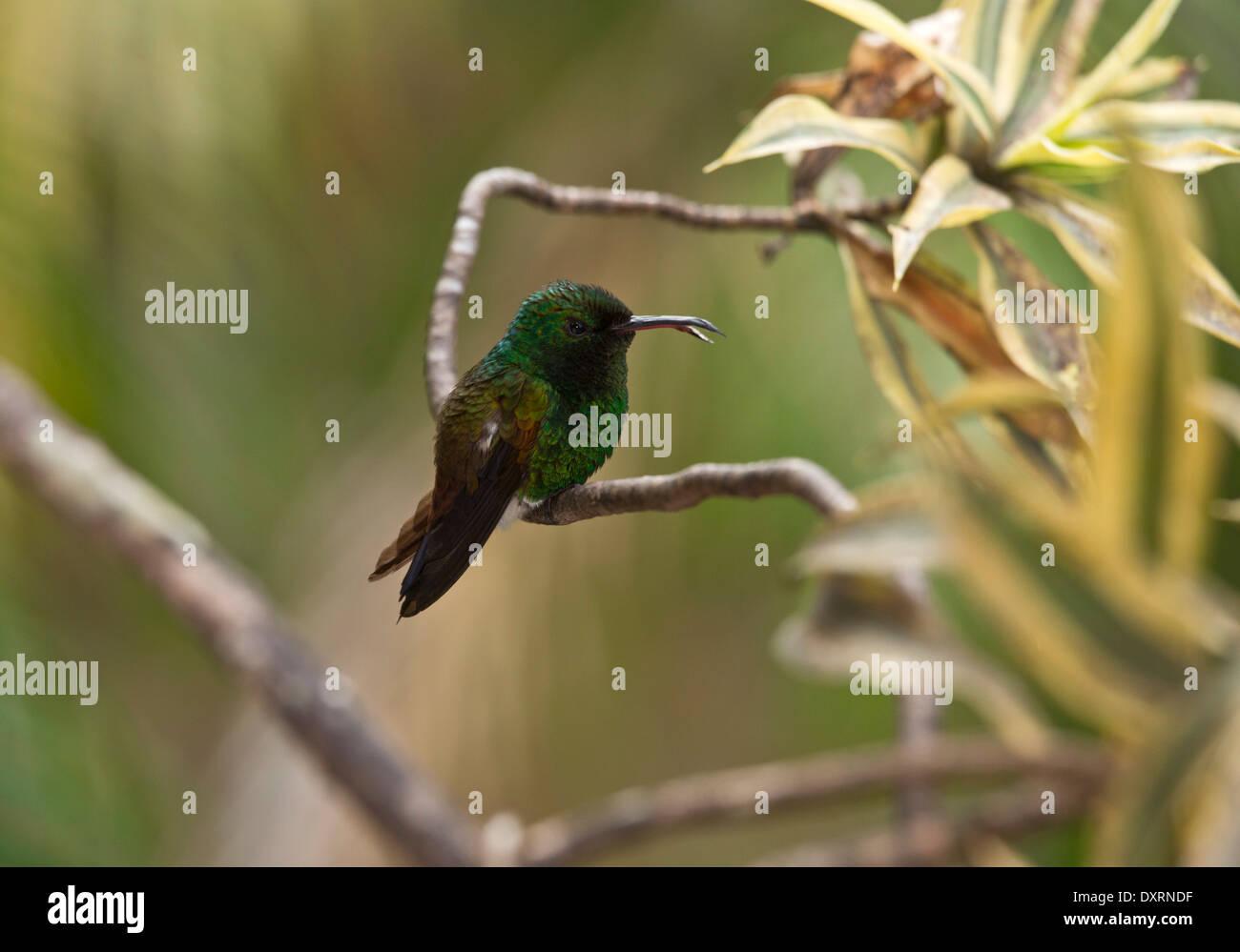 Copper-rumped Hummingbird, Amazilia tobaci erythronotus perched, with deformed beak. Trinidad. - Stock Image