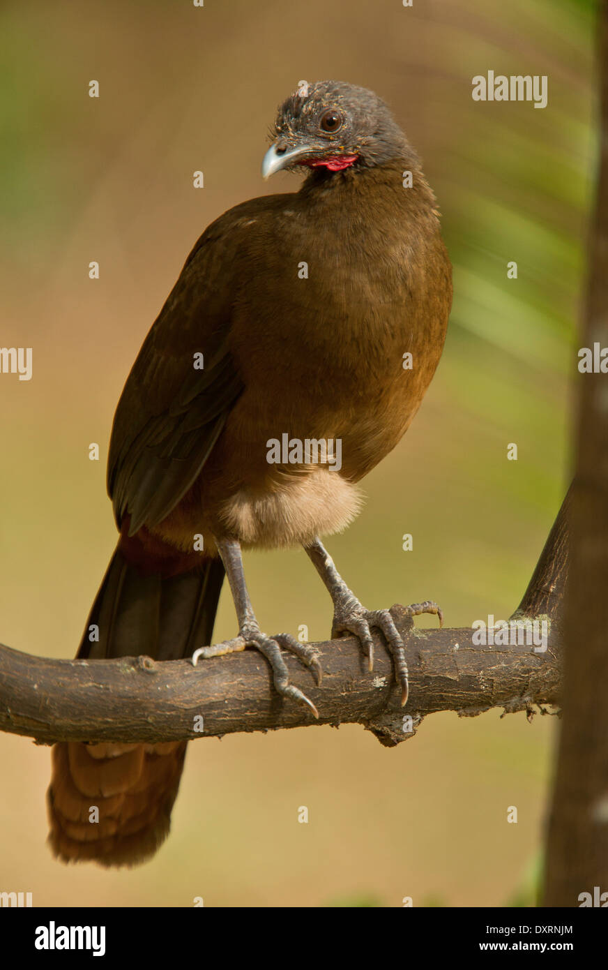 Rufous-vented Chachalaca, Ortalis ruficauda ruficauda perched on tree branch. Tobago. - Stock Image