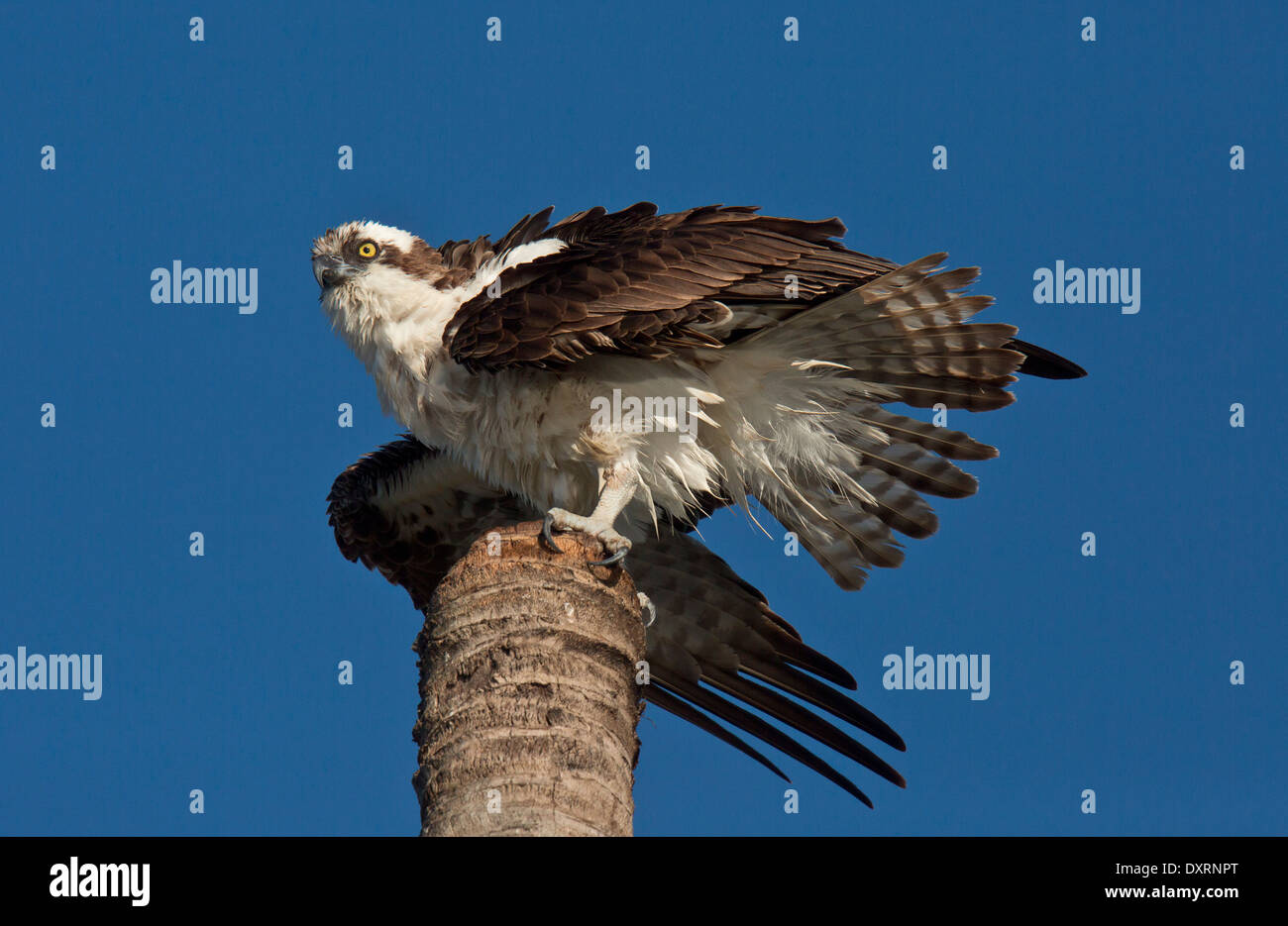 Osprey Pandion haliaetus, also known as sea hawk, fish eagle, river hawk or fish hawk; - Stock Image