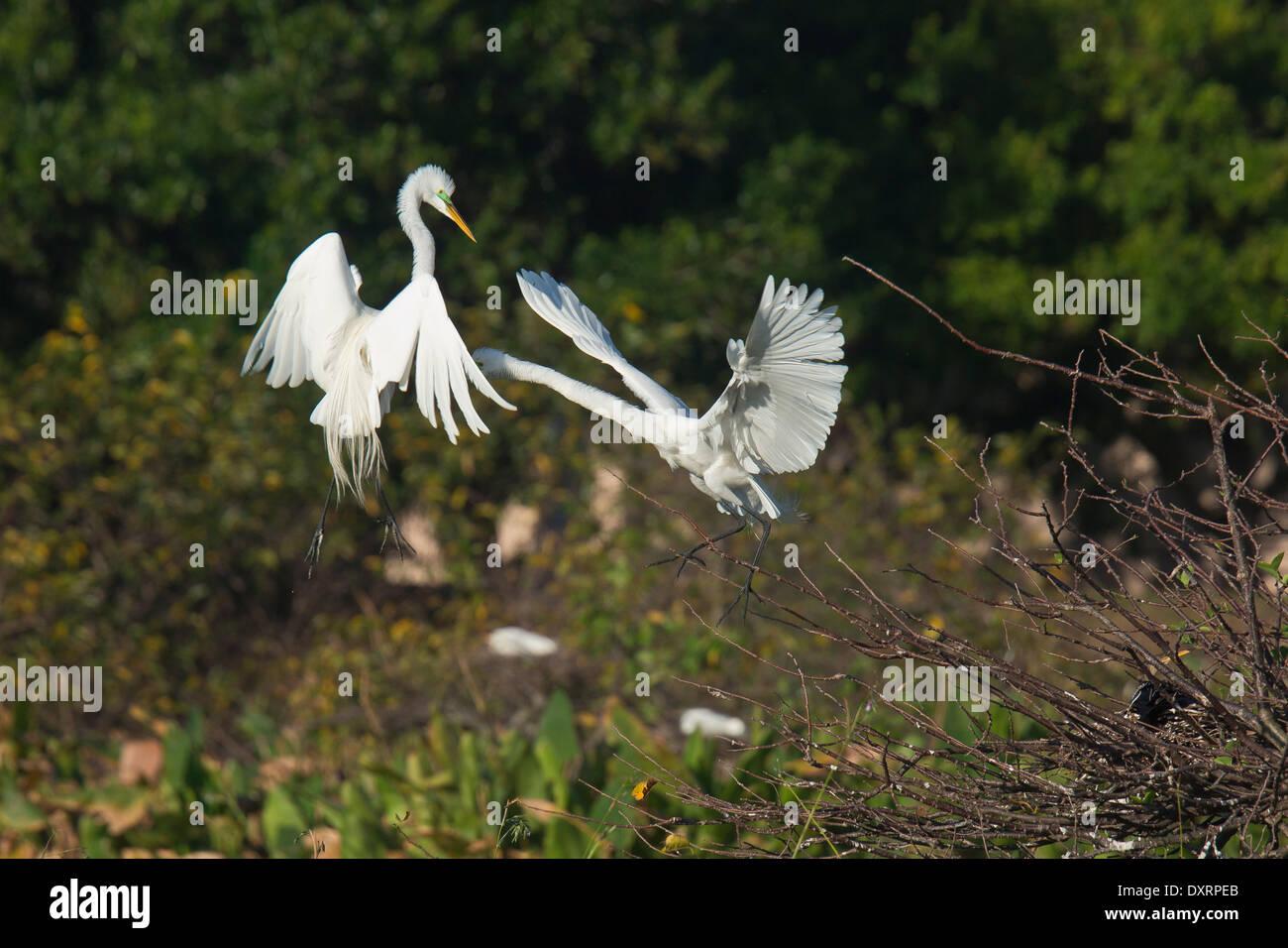 Great Egret Ardea alba egretta, (or Large Egret or Great White Heron), displaying pair in the breeding season, Wakodahatchee - Stock Image