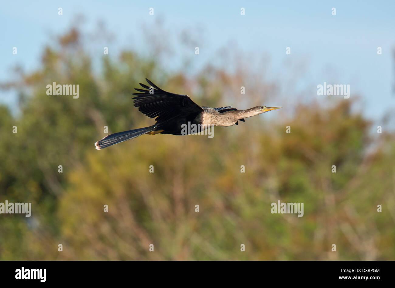 Anhinga, Anhinga anhinga, also Snakebird, Darter, American Darter in flight, at Wakodahatchee Wetlands, Palm Beach, Stock Photo