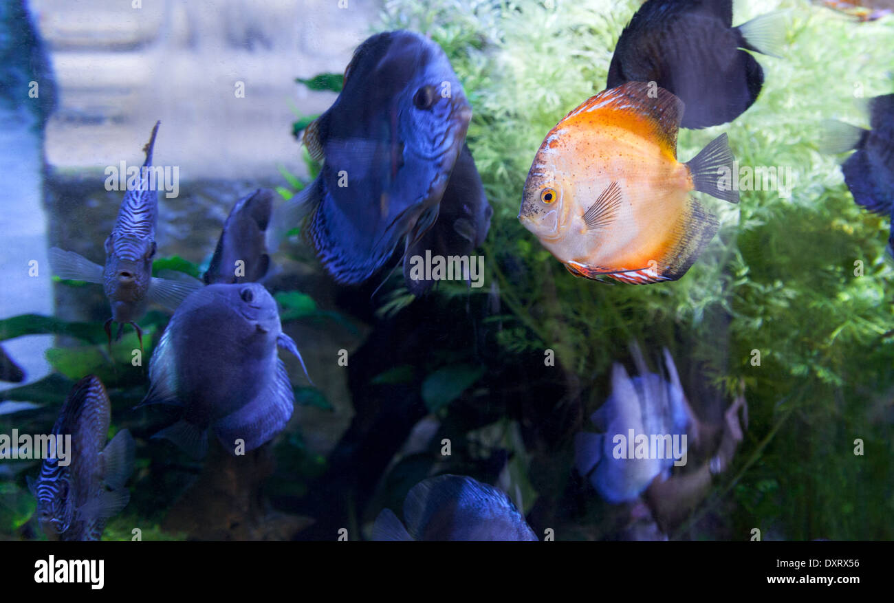 A bright orange cichlid fish amongst darker colored fish - concept of Different, difference, stand out or odd one out - Stock Image