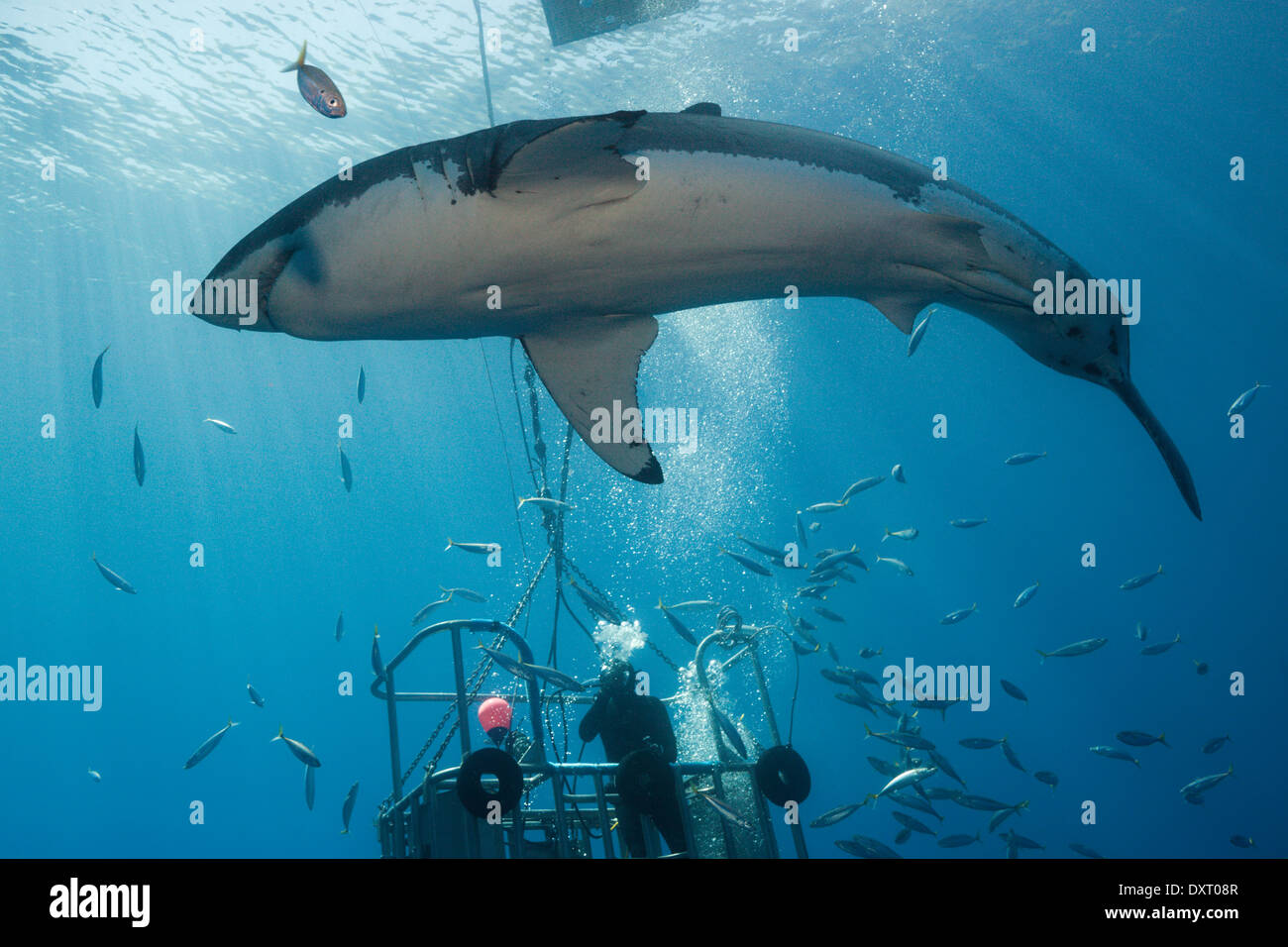 Great white shark cage diving carcharodon carcharias for Guadalupe island fishing