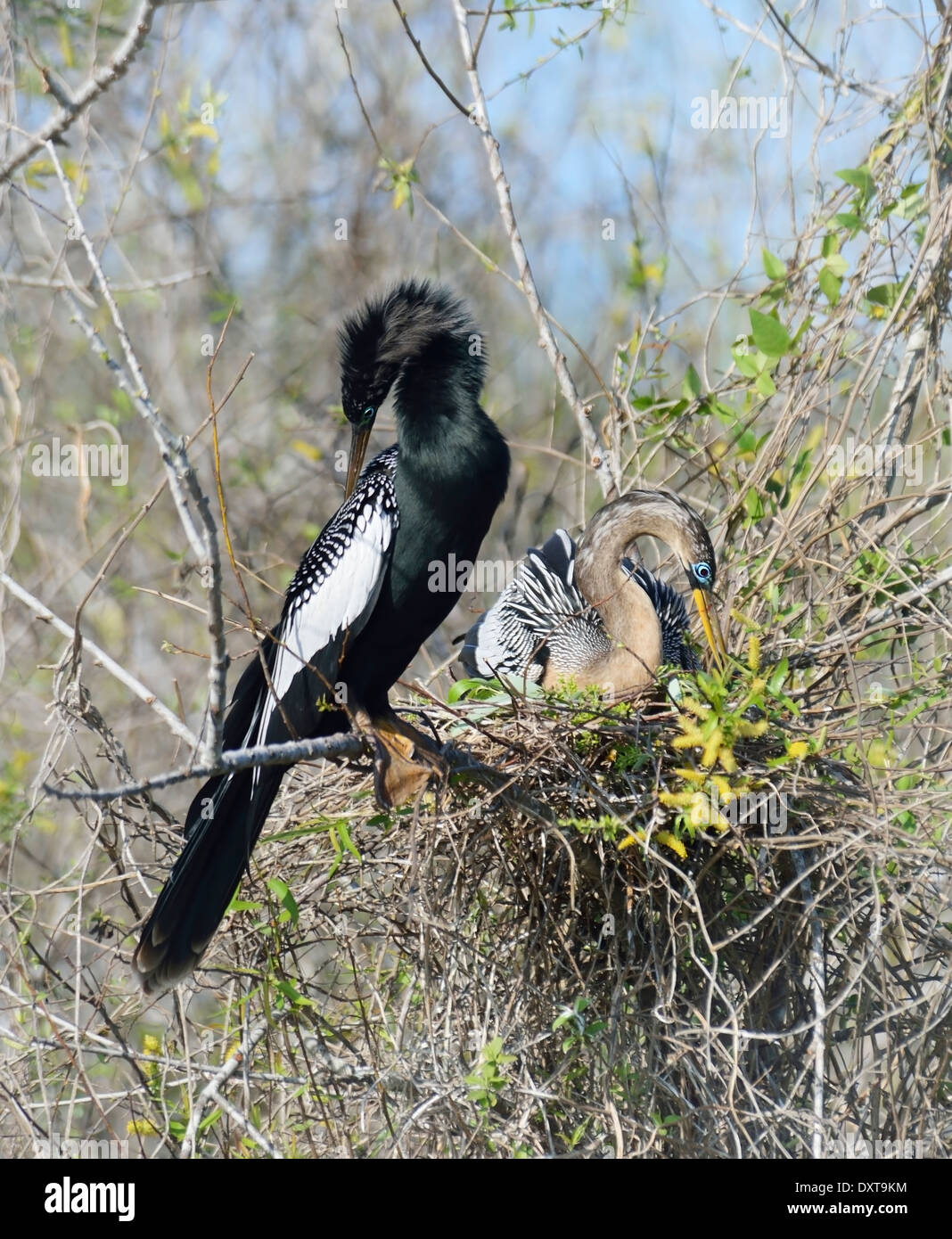 Male And Female Anhinga Birds In The Nest - Stock Image